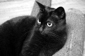 gatto-nero-giornata-mondaile-del-gatto-nero-gatto-day