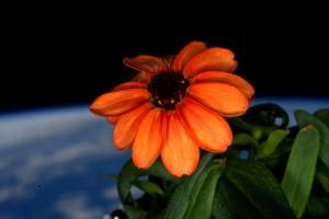 fiore nello spazio di scott kelly il primo fiore sbocciato nello spazio